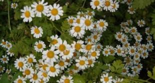 Moederkruid - Chrysanthemum (Tanacetum) parthenium