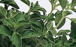 Oregano of Oreganum vulgare