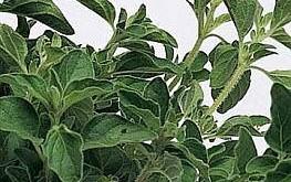 Oregano of Oreganum vulgare