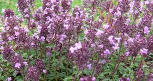De kracht van kruiden - Tijm Thymus vulgaris