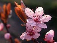 Cherry Plum / Kerspruim