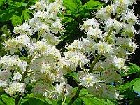 Chestnut bud / Knop van de witte paardekastanje