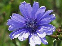 Chicory / Cichorei