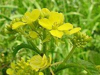 Mustard / Herik of Wilde mosterd