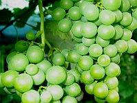 Vine / Wijnrank