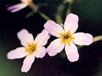 Water Violet / Waterviolier