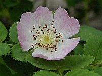 Wild Rose / Hondsroos