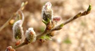 De wilg - Salix alba